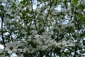purple flowering tree crossword clue best flower 2017