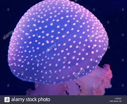 white spotted jellyfish phyllorhiza punctata stock photo royalty