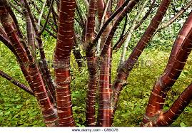 prunus serrula ornamental cherry stock photos prunus serrula