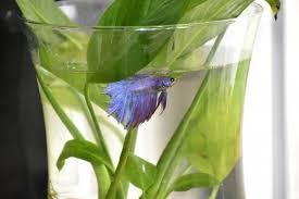 Beta Fish In Vase Why Fish Make Sad Classroom U0027pets U0027 Peta