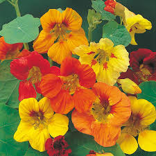 nasturtium flowers nasturtium trailing mixed seeds from mr fothergill s seeds and plants