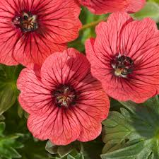 buy geranium geranium cinereum group u0027jolly jewel salmon