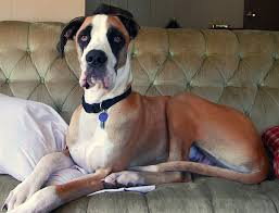 Blind Great Dane Musings Of A Biologist And Dog Lover Mismark Case Study Great Dane