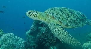 imagenes tortugas verdes tienen las tortugas verdes los días contados el cambio climático