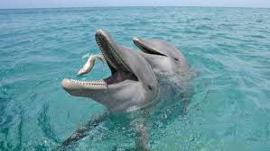 bottlenose dolphin eating fish