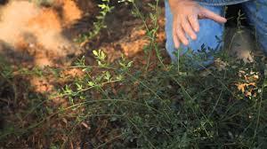 how to prune back winter jasmine fall u0026 winter gardening tips
