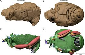 preservation of three dimensional anatomy in phosphatized fossil