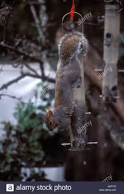 gray squirrel hanging on backyard bird feeder stock photo royalty