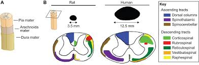 Anatomy Of Rat Brain Rat Models Of Spinal Cord Injury From Pathology To Potential