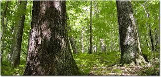 the the wye oak