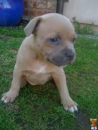 american pitbull terrier breeders st louis staffordshire bull terrier puppy wrexham united kingdom