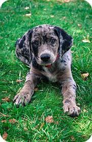 bluetick coonhound apparel 23 best bluetick puppies images on pinterest bluetick coonhound