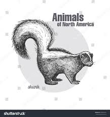 skunk hand drawing wildlife animals north stock vector 604040120