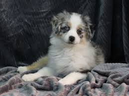 australian shepherd gray australian shepherd puppies petland iowa city