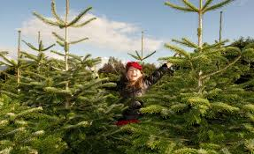 growing a christmas tree belfield christmas trees