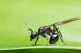 Seeking You Lost Wings Why Do Ants Sometimes Wings
