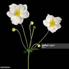 anemones flowers anemone flower stock photos and pictures getty images