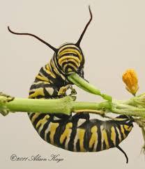 monarch danaus plexippus linnaeus 1758 butterflies and moths