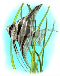freshwater tropical fish full color u0026 line art illustrations at
