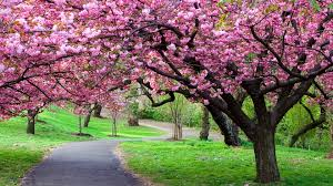 cherry blossom tree facts cherry blossom tree for your garden cherry tree pinterest