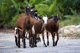 goats in caribbean life u2013 repeating islands