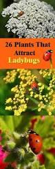 26 plants that attract ladybugs