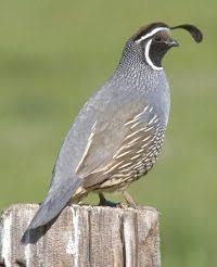 California Backyard Birds by Common Birds Of San Francisco Bay Area Sfbaywildlife Info