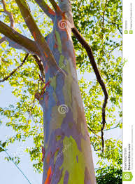 close up of colorful abstract pattern of rainbow eucalyptus tree