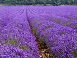 lavender flowers lavender flowers field depression help