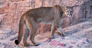Arizona wild animals images Arizona sonora desert museum wild animals in tucson az roads jpg