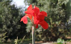 canna pictures canna flower pictures canna lily pictures