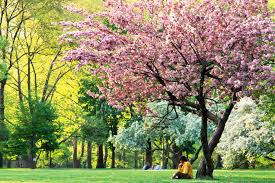 Cherry Blossom Tree Facts by Interesting Facts About Spring Dk Find Out