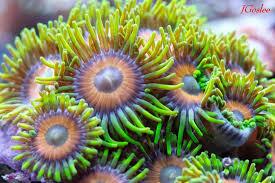 best lighting for corals beginner corals you wonâ t regret by mallorie gaughran reef2reef