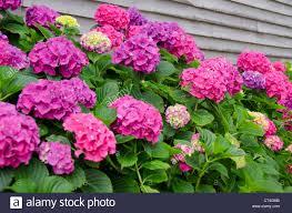 Hydrangea Flowers Rhode Island Block Island Hydrangea Flowers In Bloom Stock Photo