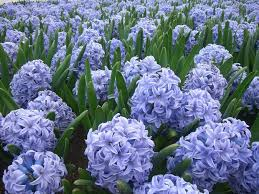 hyacinth flower purple hyacinth this flower smells amazing to bad it