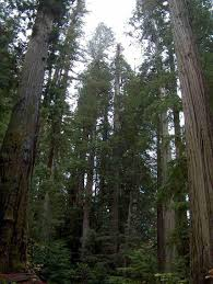 native northern california plants pictures of the redwood forest of california and some of its