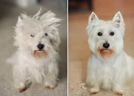 cairn hair cuts cairn terrier haircut styles hairs picture gallery