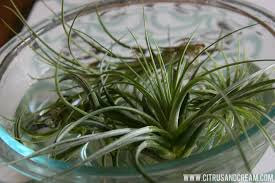 Air Plants Strange And Beautiful Air Plants Design And Care Tips How