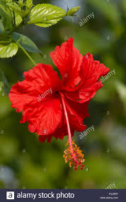 red hibiscus flower flowers concept stock photos u0026 red hibiscus