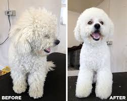 bichon frise puppy cut before u0026 after grooming photo of a bichon frise beautiful