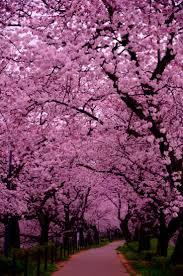 34 best cherry blossoms images on pinterest flowers landscapes