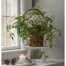 how to grow jasmine indoors