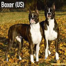 boxer dog origin boxers dogbreed gifts com boxer calendars