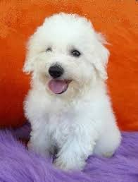 bichon frise jack russell for sale bichon frise price in india bichon frise puppy for sale in mumbai