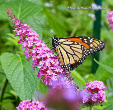 buddleja buzz butterfly bush has all the pollinators buzzing
