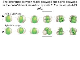 what is the differnece between a spiral and regular perm cleavage cutting up the embryo cleavage patterns why cleavage is