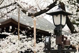 japanese blossom tree japanese cherry blossom tree paintings