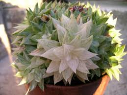some kind and species of succulent plant care for plant