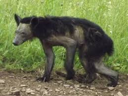 Pennsylvania wildlife images Uptick in mange among bears vexes pa game commission jpg