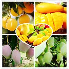 Mango Boom 2 stuks zak mango zaden mini mango boom zaden eigenaardige